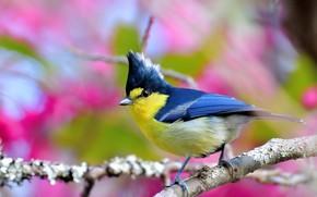 Картинка ветки, птица, боке, синица, Тайваньская жёлтая синица