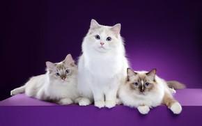 Картинка взгляд, кошки, поза, фон, мордочка, котята, три, трио, фотостудия, рэгдолл