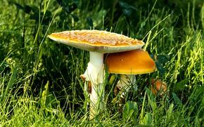 Картинка трава, грибы, мухоморы, семейка