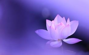 Картинка цветок, фон, сиреневый, розовый, лотос