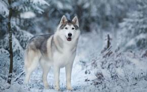 Картинка зима, снег, деревья, природа, животное, собака, хаски, пёс, Anna Oris