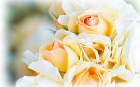 Картинка цветы, розы, букет, желтые, белые, светлый фон, бутоны, боке