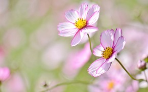 Картинка цветы, нежность, боке, космея