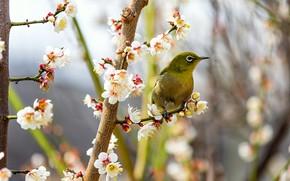 Картинка цветы, ветки, природа, поза, фон, птица, ветка, весна, птичка, зеленая, цветение, маленькая, боке, размытый, японская, …