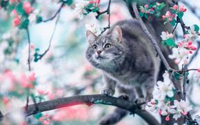 Картинка кошка, ветки, весна, яблоня, цветение, на дереве, цветки, котейка