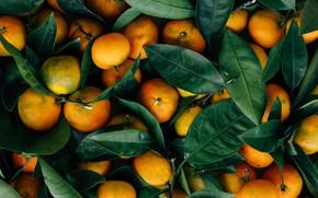 Картинка Leaves, Mandarin, Fruits, Food, Oranges, Citrus, Mandarin oranges