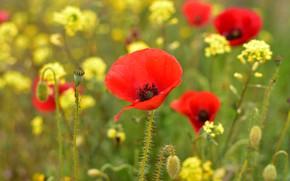 Картинка лето, цветы, маки, желтые, красные, боке, рапс