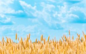 Картинка поле, лето, небо, облака, природа, фон, голубое, рожь, желтые, колоски, хлеб, колосья, злаки, спелые, ржаное …