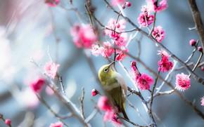 Картинка цветы, ветки, природа, птица, весна, розовые, птичка, цветение, маленькая, голубой фон, боке, японская, яркая, весеннее, ...