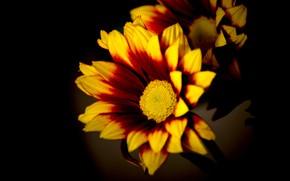 Обои макро, свет, цветы, яркие, желтые, лепестки, черный фон, оранжевые, композиция, огненные, двухцветные, гацания
