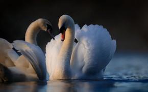 Картинка вода, птицы, перья, парочка, лебеди