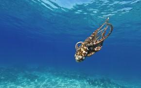 Картинка море, вода, дно, осьминог, подводный мир, под водой, плавание