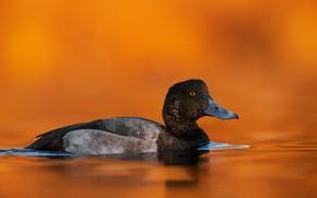 Картинка черная, оранжевый фон, утка, водоем, плавание