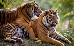 Картинка чувства, пара, тигры