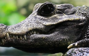Картинка crocodile, teeth, breeding, black eye