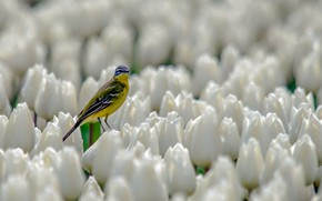 Картинка тюльпаны, белые, птичка, бутоны, кроха