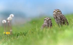 Картинка зелень, трава, цветы, птицы, природа, сова, две, весна, пара, одуванчики, совы, парочка, дуэт, два, голубое ...