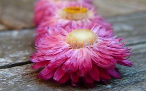 Картинка розовый, Цветы, Маргаритки