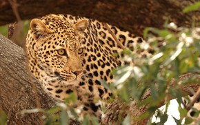 Картинка кошка, природа, дерево, хищник, леопард