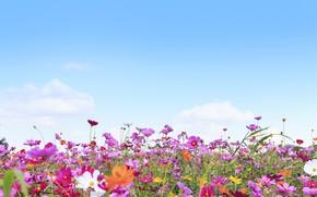 Картинка поле, лето, небо, солнце, цветы, colorful, луг, summer, field, pink, flowers, cosmos, meadow