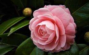 Картинка темный фон, розовая, камелия