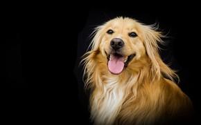 Картинка фон, портрет, собака