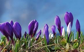 Картинка цветы, поляна, весна, фиолетовые, крокусы, бутоны, голубой фон, сиреневые