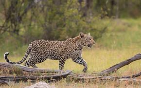 Картинка хищник, леопард, грация