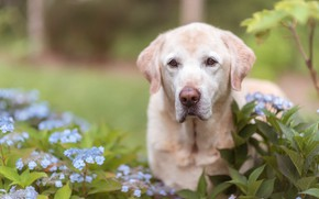 Картинка собака, взгляд, цветы, морда, гортензия, Лабрадор-ретривер