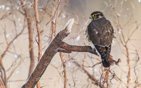 Картинка зима, взгляд, ветки, природа, дерево, птица, ястреб, сук, хищная