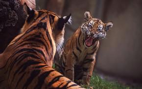 Картинка язык, морда, тигр, поза, темный фон, спина, пасть, пара, клыки, недовольный, тигры, дуэт, агрессия, рычит, …