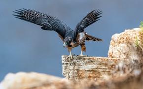 Картинка камни, птица, крылья, сапсан