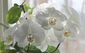 Картинка свет, цветы, окно, белые, орхидеи