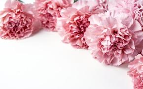 Картинка цветы, лепестки, розовые, pink, flowers, beautiful, гвоздики, carnation