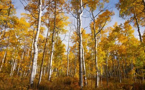 Картинка осень, деревья, роща, осины