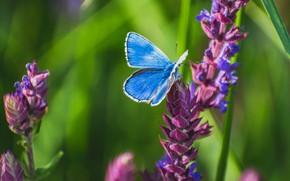 Картинка зелень, лето, трава, макро, цветы, бабочка, насекомое, голубая, сиреневые, боке