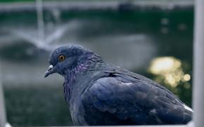 Картинка Макро, Голубь, Птицы, Обои, Голубой