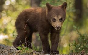 Картинка лес, взгляд, морда, листья, природа, поза, фон, лапы, малыш, медведь, мишка, медвежонок, боке, бурый