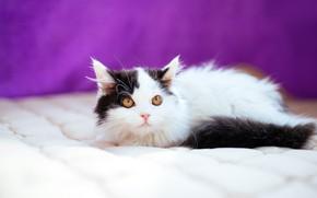 Картинка кошка, взгляд, поза, котенок, черно-белый, малыш, одеяло, котёнок, сиреневый фон