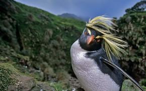 Обои птица, клюв, северный хохлатый пингвин