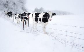 Картинка зима, снег, забор, коровы