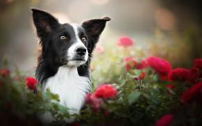 Картинка морда, цветы, портрет, розы, собака, боке, Бордер-колли