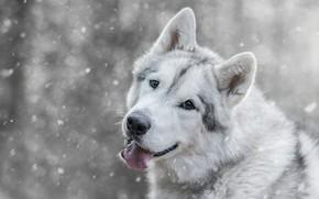 Картинка собака, волчья, серая, взгляд, снегопад, снег, зима, волк, пасть, морда, порода, боке, светлый фон, язык