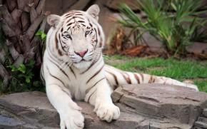 Обои белый, трава, морда, тигр, камни, хищник, лапы, лежит, отдыхает, боке