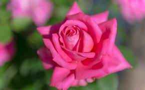 Картинка макро, розовая, роза, лепестки, бутон, боке