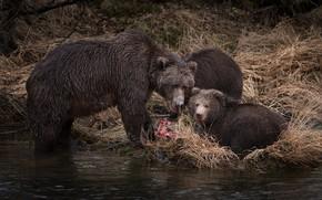 Картинка осень, трава, взгляд, река, рыбалка, хищники, рыба, медведь, три, медвежонок, малыши, медвежата, два, обед, добыча, …
