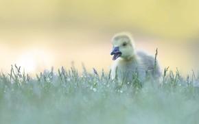 Картинка трава, капли, роса, птица, утёнок, утка, птенец, гусь, гусёнок