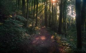 Картинка лес, солнце, деревья, сумрак