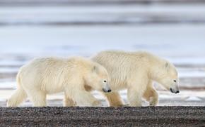 Картинка галька, берег, медведи, пара, медвежонок, прогулка, медвежата, белый медведь, два, водоем, белые медведи