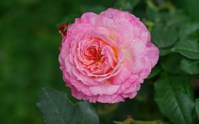 Картинка капли, макро, розовая, роза, лепестки